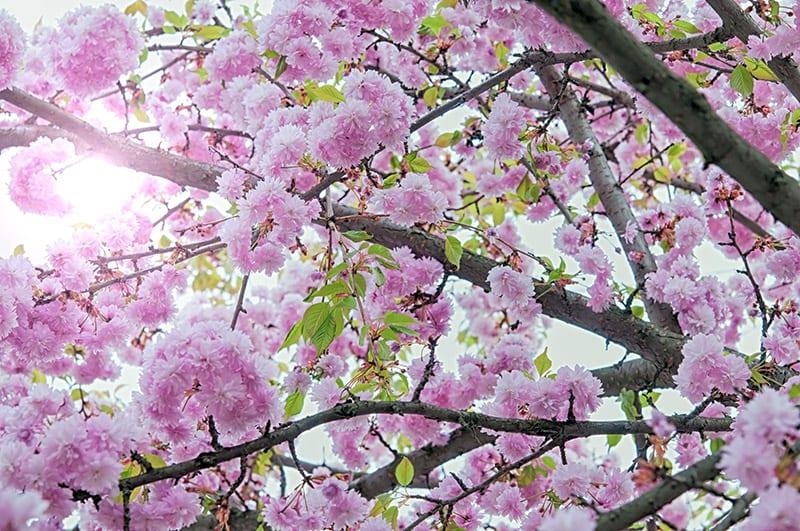 HAPA's Sakura Festival