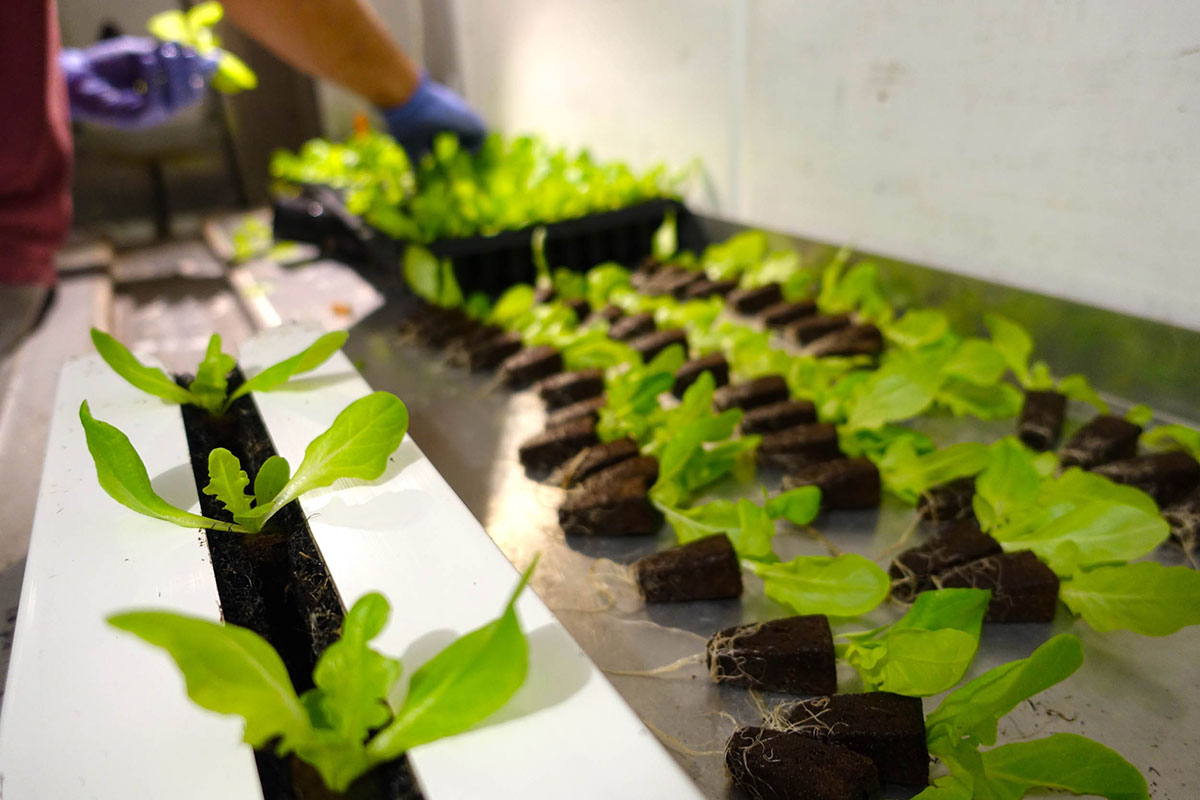 lettuce being grown in the freight farm