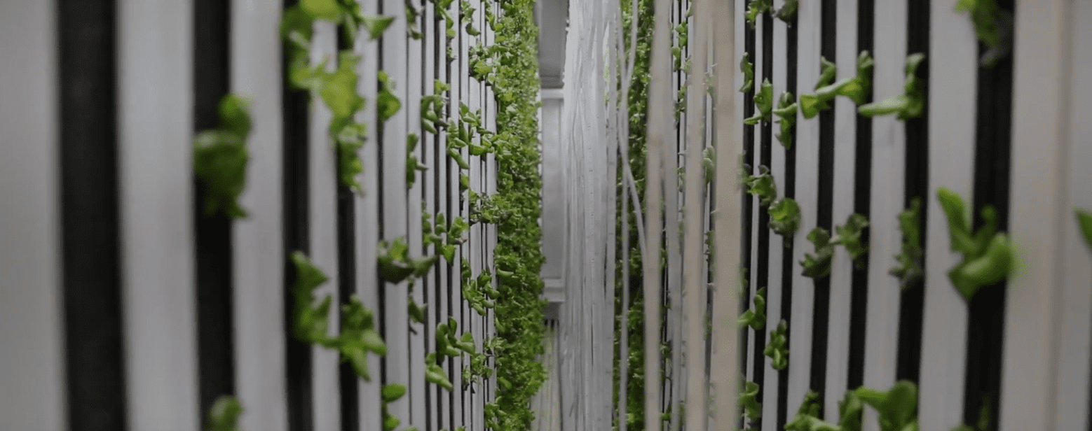 Lettuce and other green vegetables being grown inside Maryville's freight farm