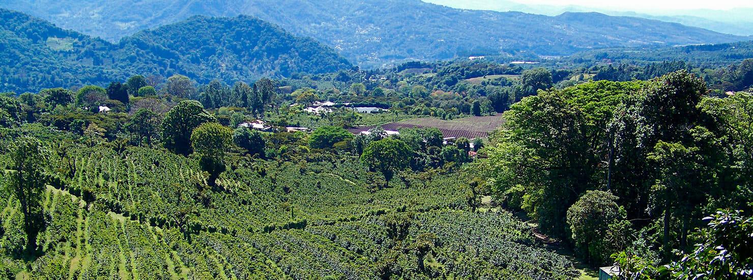 coffee plantation in Panama